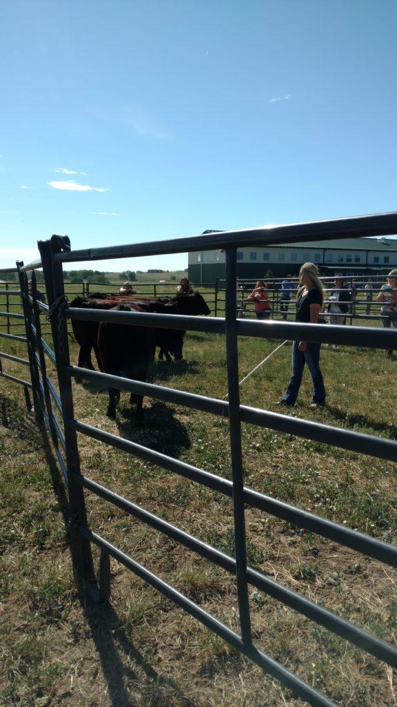 Sim Angus Heifers-Livestock