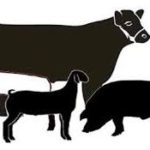 picture.showpig.steer.lamb.goat